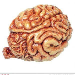 Cerveau mesure humaine